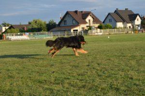Trening na boisku w Szymanowie. Hovawart Basile Trzy Wiedzmy