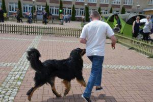 Wystawa psów. Hovawart Trzy Wiedzmy
